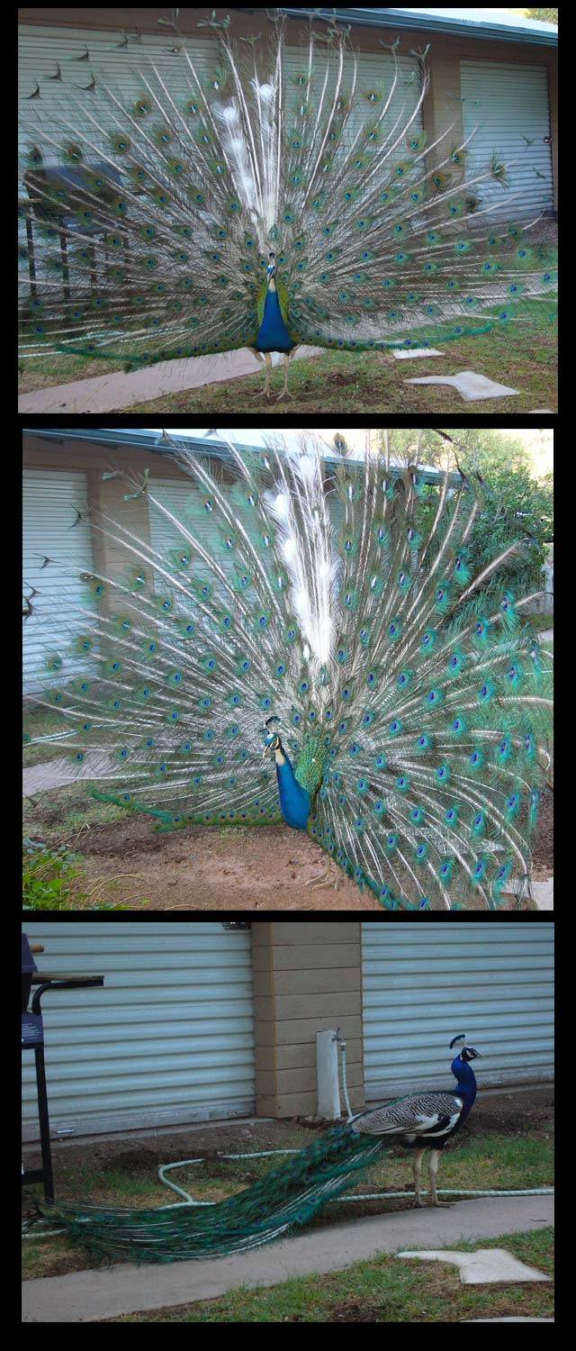 Matty Peacocks
